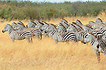 Zebras use their ears to convey mood as well as to listen for the approach of predators. When a herd of zebras stands at full attention, all eyes and ears facing forward, their body language warns that danger is near, Masai Mara National Reserve, Kenya.