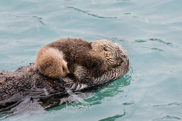Sea Otter (Enhydra lutris) mom with young pup on Prince William Sound, Alaska.  Spring.  Rain/sleet.