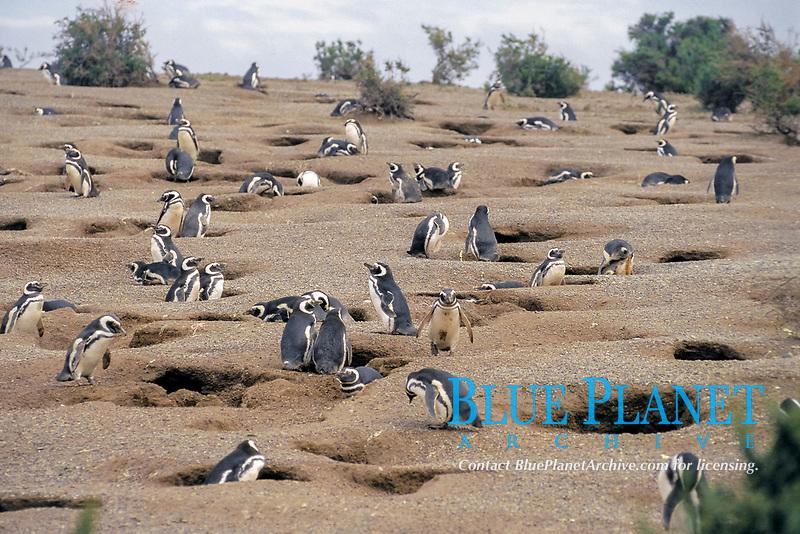 Magellanic penguins, Spheniscus magellanicus, Punta Tombo, Patagonia, Peninsula Valdez, Argentina, Atlantic Ocean