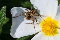 Luchsspinne, Luchs-Spinne, Weibchen lauert auf einer Blüte auf Beute, Oxyopes cf. heterophthalmus, Lynx Spider, female, Luchsspinnen, Oxyopidae, Scharfaugenspinnen, Lynx spiders, Kroatien, Croatia