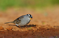 White-crowned Sparrow on ground in red muddy soil by water