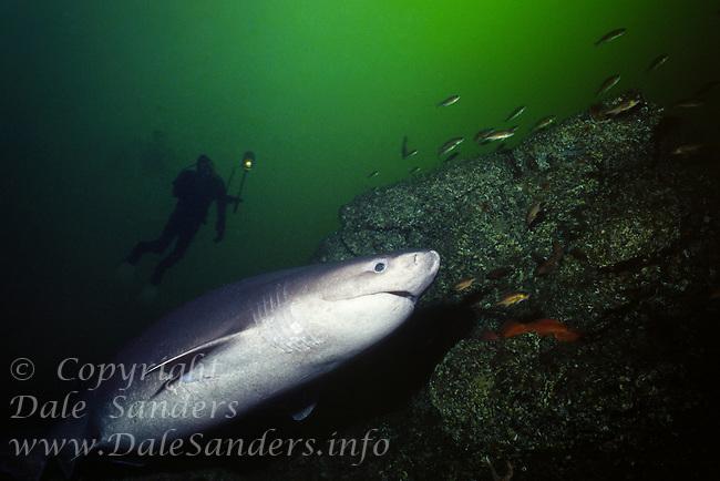 A diver follows a Sixgill shark (Hexanchus griseus) in Barkley Sound, British Columbia, Canada.