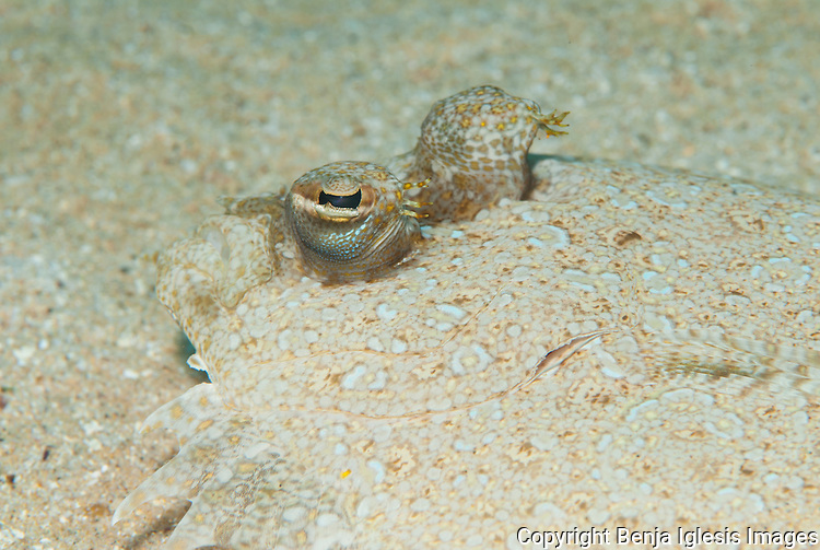 Close up of the eyes of Panther flounder ( Bothus Pantherinus ) lives in the sand and sometimes close to the reef.
