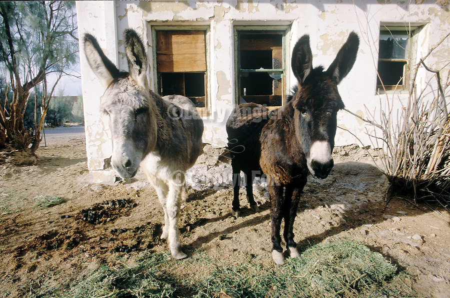 A pair of asses, white and gray and an old house in the California Desert.