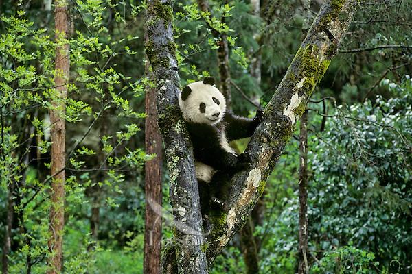 Young Giant Panda (Ailuropoda melanoleuca) climbing in tree.  Central China.