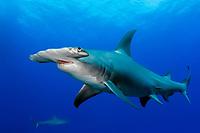great hammerhead shark, Sphyrna mokarran, endangered species, Grand Bahama, Bahamas, Caribbean Sea, Atlantic Ocean