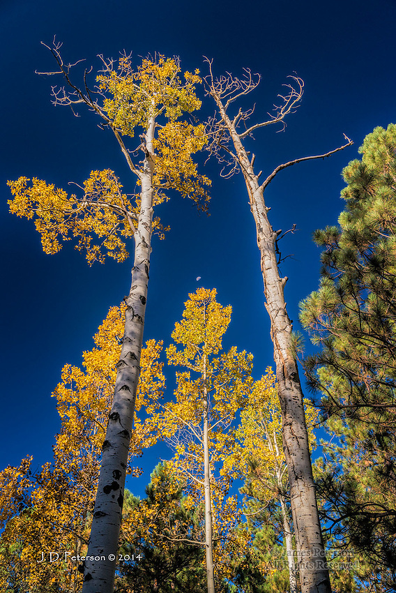 Aspens with Half Moon, Hart Prairie, Arizona
