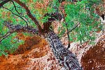 Corkwood tree (Duboisia sp.), Purnululu National Park, Western Australia, Australia