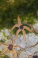 Schwarzer Schlangenstern, Schlangenstern, Schlangen-Stern, Ophiocomina nigra, black brittlestar, black serpent-star, black brittle star, black serpent star