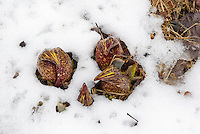 Symplocarpus foetidus flowers in snow (Skunk Cabbage) in early spring late winter