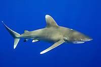 oceanic whitetip shark, Carcharhinus longimanus, with cookiecutter shark bite wound, Isistius brasiliensis, Cat Island, Bahamas, Caribbean Sea, Atlantic Ocean