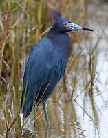 Little blue heron adult on cold and windy day- blue norther was blowing as we say in Texas