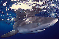 Galapagos shark Carcharhinus galapagensis North Shore, Oahu, Hawaii, Pacific Ocean