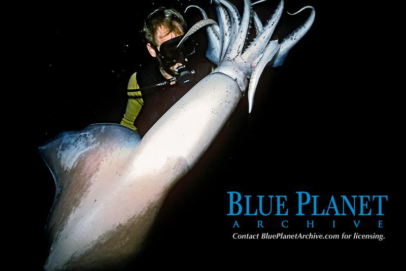 scuba diver with jumbo squid or Humboldt squid, Dosidicus gigas, Mexico, Pacific Ocean