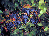 Cabernet Sauvignon grapes on the vine at a wine vineyard in Napa Valley. colored purple, deep purple, with bright green leaves and brown stems. winery, vineyard, juicy, garden, farm,  summer, fruit, tasty, fresh, flavorful, agriculture, winemaking