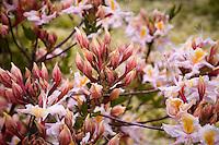 Rhododendron occidentale native azalea shrub flowering in Menzies California native plant garden