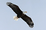 A bald eagle flies over the south end of Washoe Valley near the Smith ranch on Wednesday, Feb. 16, 2011 in Carson City, Nev. .Photo by Cathleen Allison