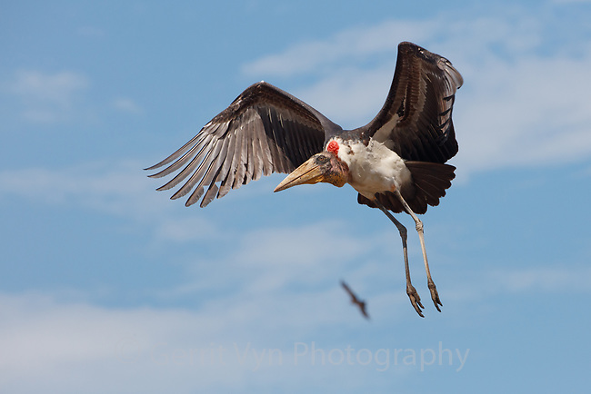 Adult Greater Adjutant in flight iat the Boragaon Landfill. Assam, India. December.