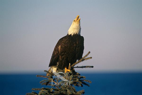 Bald Eagle (Haliaeetus leucocephalus) calling from treetop.