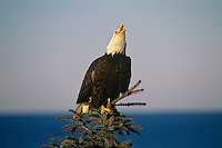 Bald Eagle (Haliaeetus leucocephalus) calling from treetop.