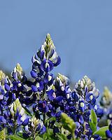Bluebonnets, Burnet, Texas
