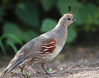 Adult female Gambel's quail