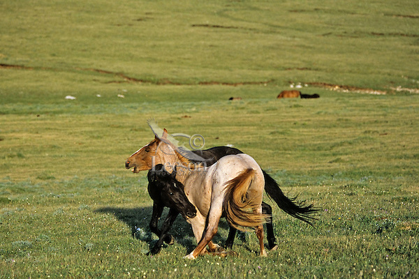 Two young wild horse stallions practice dominance behavior.  Western U.S