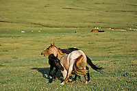 Two young wild horse stallions practice dominance behavior.  Western U.S
