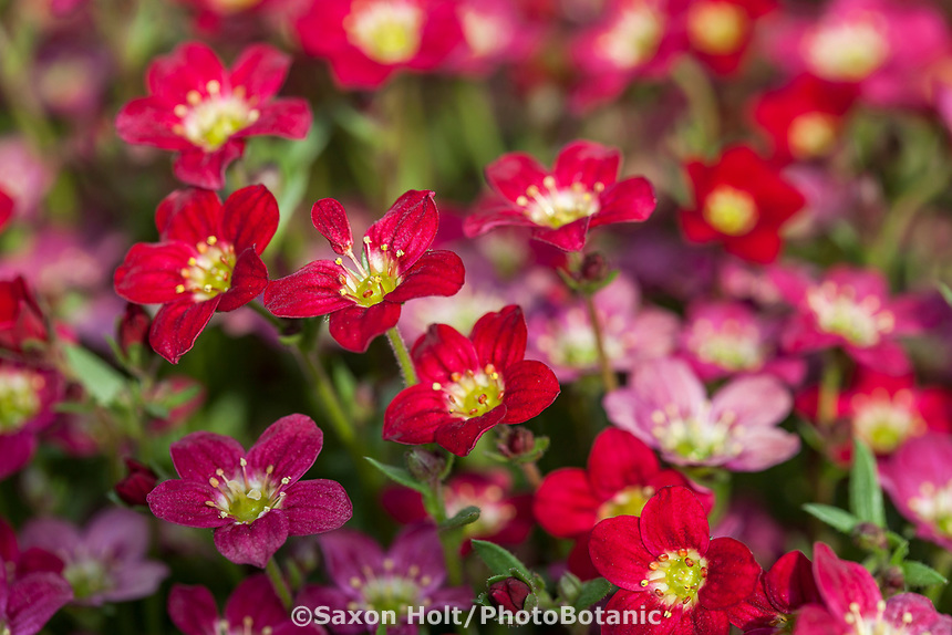 Creeping saxifrage - TOURAN DEEP RED Saxifraga x arendsii; Syngenta Flowers. Macro focus with telephoto lens for shallow depth of field.
