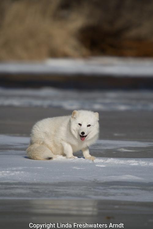 Arctic fox (Alopex lagopus) pausing on the ice