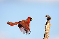 northern cardinal, Cardinalis cardinalis and Savannah Sparrow, Passerculus sandwichensis, male attacking sparrow, Sinton, Corpus Christi, Coastal Bend, Texas, USA, North America