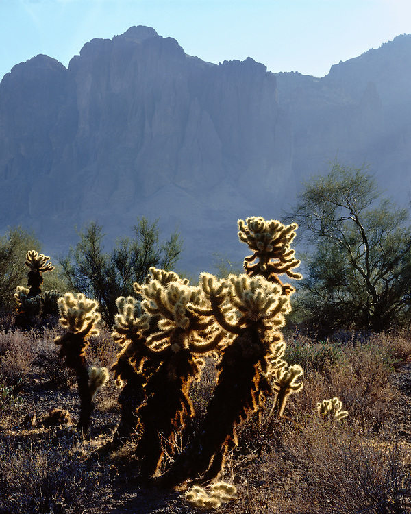 Sunrise light on Cholla cacti in the Superstition Mountains; Tonto National Forest, AZ