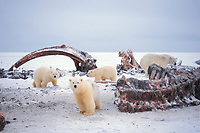 polar bear, Ursus maritimus, mother with cubs scavenging on bowhead whale bones, Balaena mysticetus, 1002 area of the Arctic National Wildlife Refuge, Alaska, polar bear, Ursus maritimus