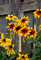 Gloriosa daisies blooming against fence and old barn