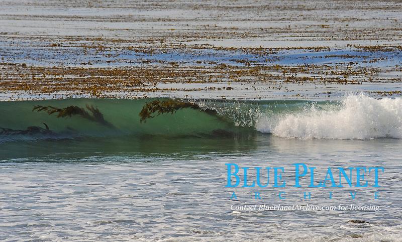 Giant kelp, Macrocystis pyrifera, seen inside wave as it crashes ashore, Deer Creek, CA, Pacific Ocean