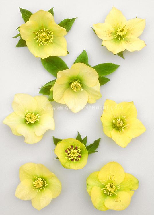 Helleborus x hybridus, single yellow. Yellow hybrid hellebores similar to the Mardi Gras Yellow series