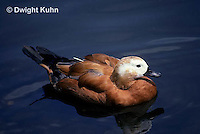 DG07-007z  Ruddy Shelduck - Tadorna ferruginea