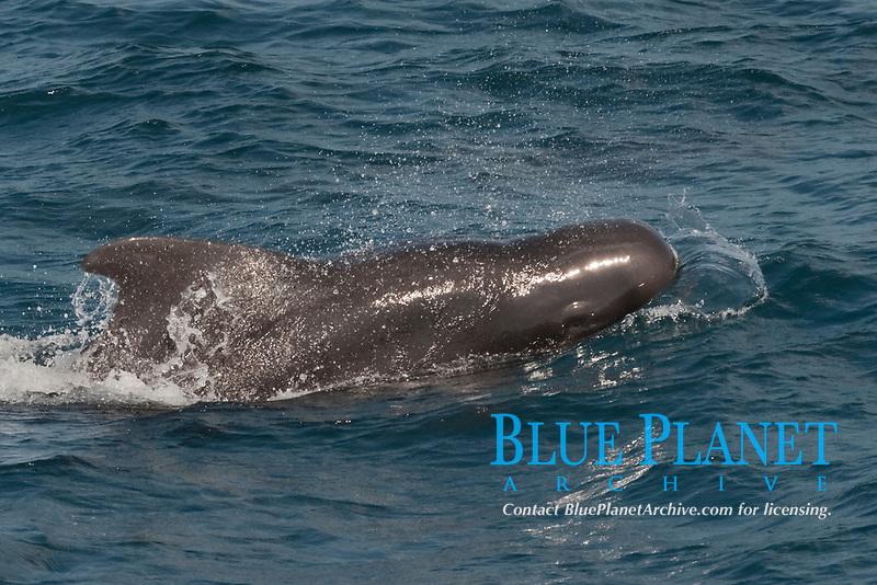 Short-finned Pilot Whale, Globicephala macrorhynchus, surfacing, Maldives, Indian Ocean