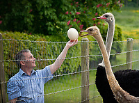 Brian Tomlin with Egg laying ostriches at Oslinc, White House Farm, Lincolnshire. For Waitrose.
