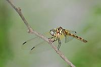 338600006 a wild female thornbush dasher dragonfly micrathyria hagenii perches on a dead twig bentsen rio grande valley state park texas