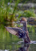 Female Hooded Merganser (Lophodytes cucullatus) drying wings.  Pacific Northwest.  Spring.