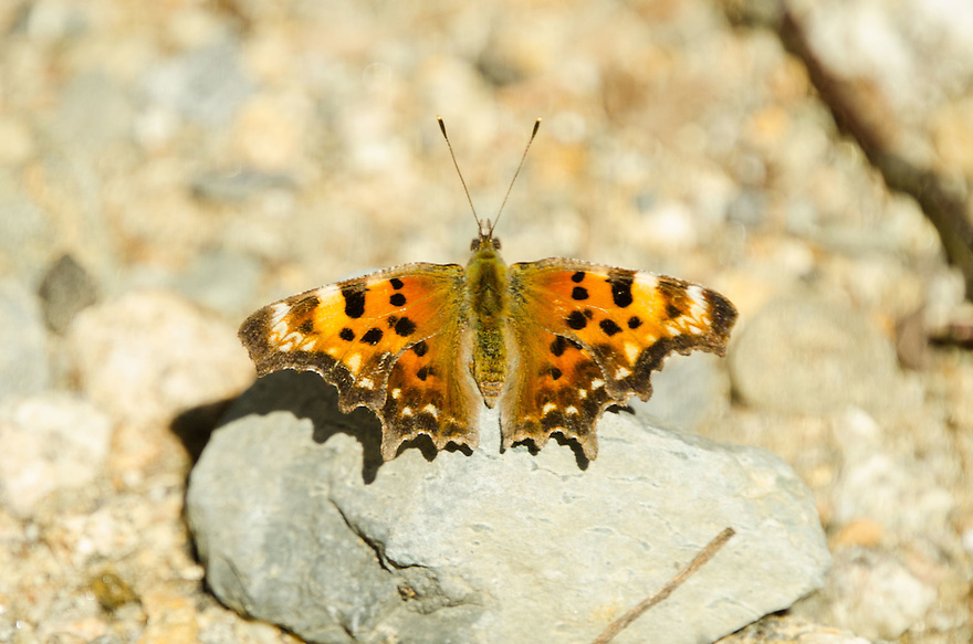 The stunning Eastern Comma Butterfly got it's name for a comma shaped mark on the underside of its' wings. This species is rare in my experience.