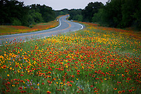 Multi-Colored Wildflowers Indian Blanket Firewheels and Yellow Daisy Coreopsis paint a stunning scenic along a winding state highway in Fredericksburg, TX, heart of the Texas Hill Country - Stock Image.