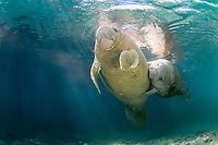 Florida Manatee, Trichechus manatus latirostris, A subspecies of the West Indian Manatee. Playful manatees enjoy the warm waters near the Three Sisters Sanctuary. Crystal River, Florida.