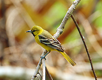 First-summer male orchard oriole at Paradise Pond in April