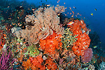 Bright sponges, soft corals and crinoids in a colourful Komodo seascape,  Komodo National Park