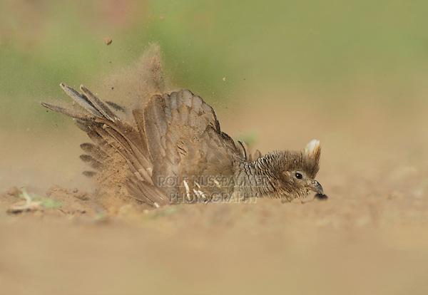 Scaled Quail (Callipepla squamata), female dust bathing,  Laredo, Webb County, South Texas, USA