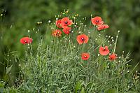 Klatsch-Mohn, Klatschmohn, Mohnblume, Klatschrose, Mohn, Papaver rhoeas, Corn Poppy, Field Poppy, common poppy, poppy, corn rose, Flanders poppy, red poppy, Le coquelicot