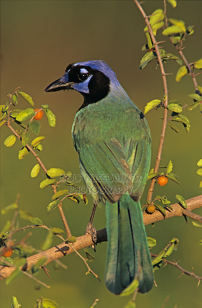 Green Jay, Cyanocorax yncas, adult on Desert Hackberry (Celtis pallida) , Willacy County, Rio Grande Valley, Texas, USA