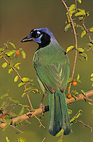 Green Jay, Cyanocorax yncas, adult on Desert Hackberry (Celtis pallida) , Willacy County, Rio Grande Valley, Texas, USA
